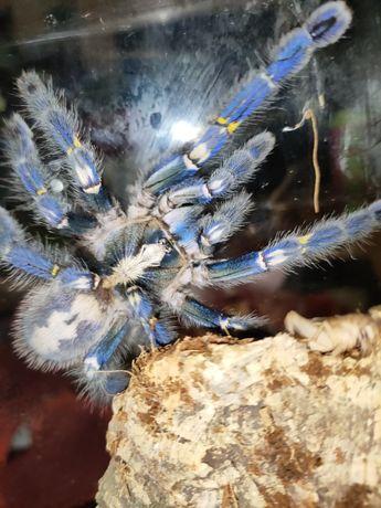 Poe metalica pająk