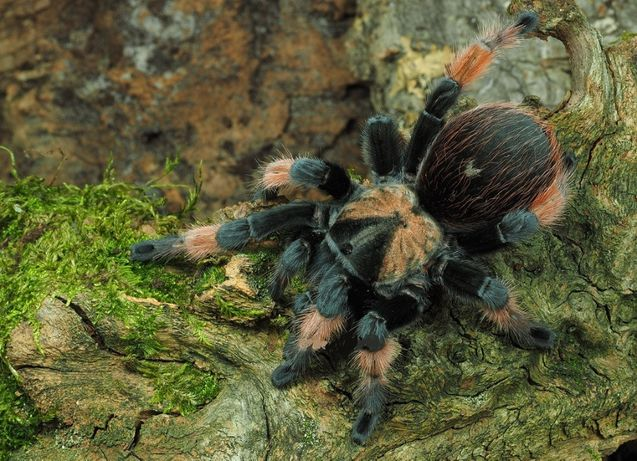 Харьков самки паука птицееда для новичков Brachypelma emilia