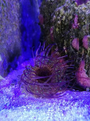 Ukwiał szorstnik cerianthus fluo akwarium morskie Czernica