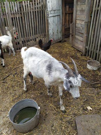 Дойные козы на молоко