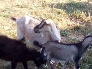 Продам козу Дашу   молоду котна .