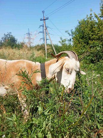 Коза козы козочка