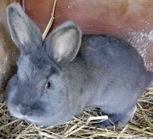 Wiedeńskie Niebieskie para królików