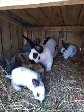 Sprzedam młode króliki Srokacze , Barana francuskie