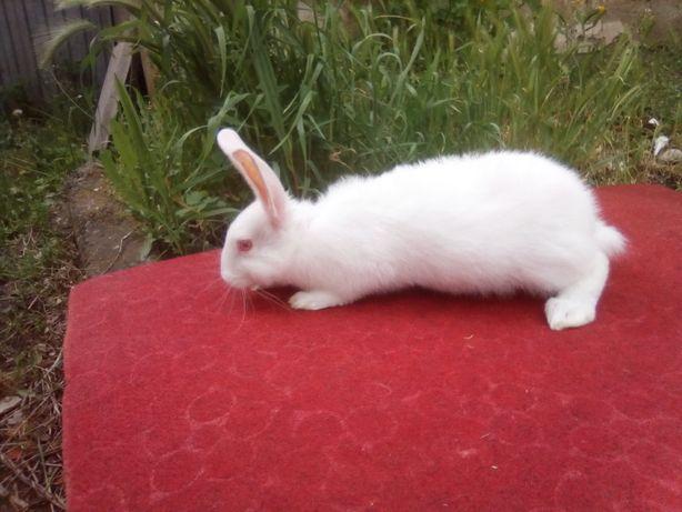 Кролики самци билий панон