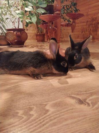 Продам кроля, порода Рекс, купити кроля дешево, декоративний кріль