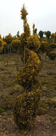 Żywotnik zachodni Tuja Thuja 'Yellow Ribbon formowane, sprala, spirale