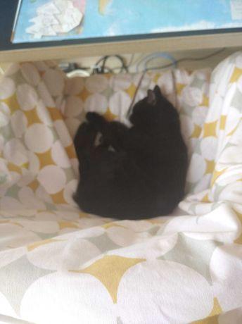 Zaginela  czarna kotka