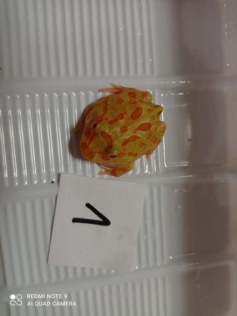 Żaba Rogata Albino GR 2