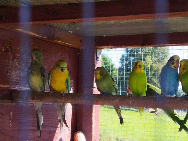Papużki faliste, nimfy. Okazja