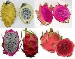 Aceito planta Pitaya