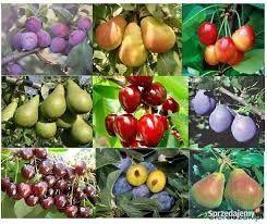 Drzewka owocowe jabłoń czereśnia sliwa gruszka