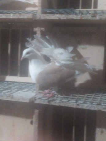Pawik tarczowy pawiki tarczowe gołębie ozdobne