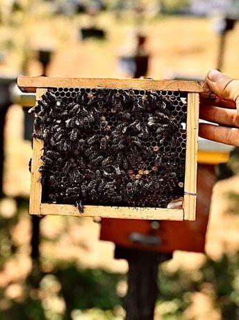 Пчеломатки. Весной 2021г.. Плодные. От Georgа Mahа. Карніка
