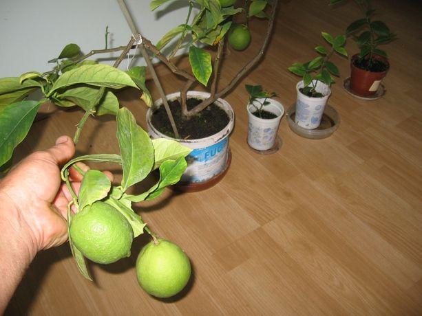 сажанцы лимона