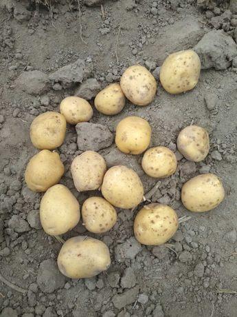 Ziemniaki młode Vineta