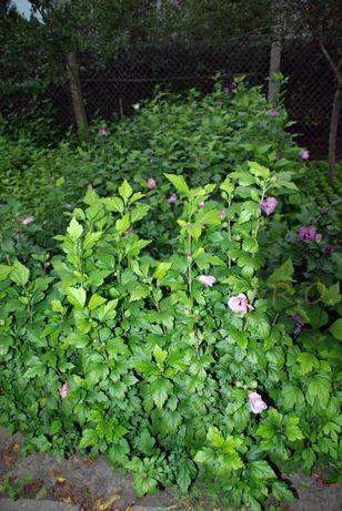 hibiskus, róża chińska, tanio