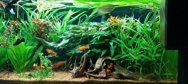 Zestaw roślin akwariowych, łatwe w uprawie, szybkorosnące nr.1