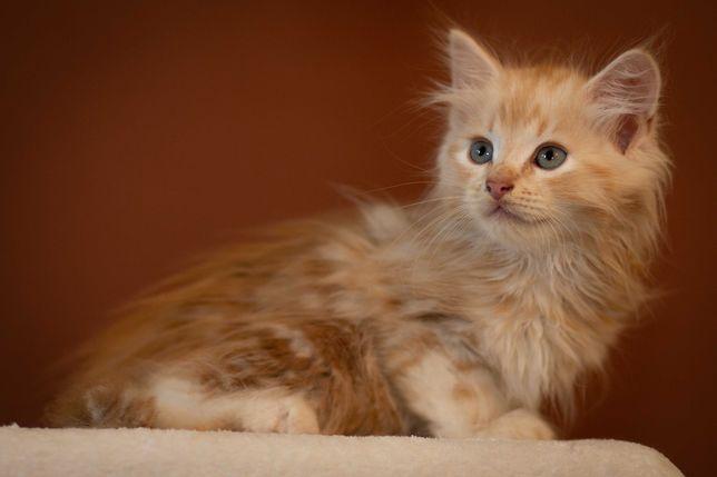 Kocięta syberyjskie - kocurek Witia