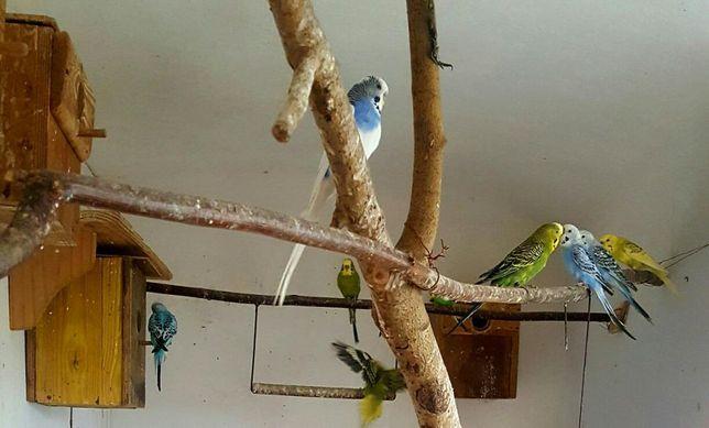 Papugi faliste mlode samce samice