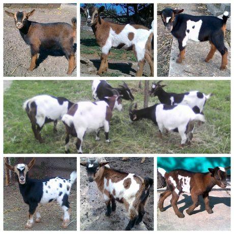 Сыры из козьего молока Камерунских коз,Запись на козлят Камерунских