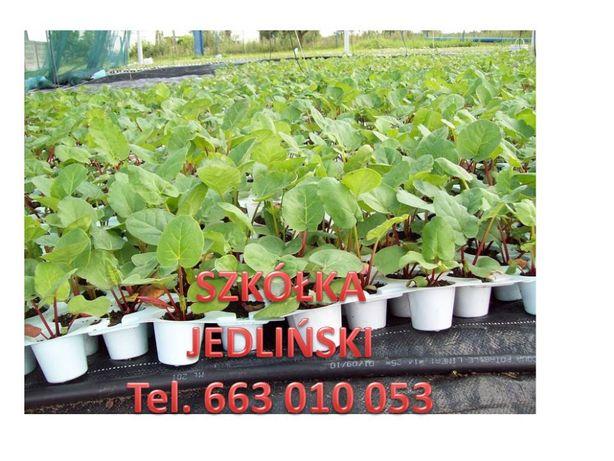 Sadzonki rabarbaru , karpy rabarbaru , rabarbar in vitro , nasiona