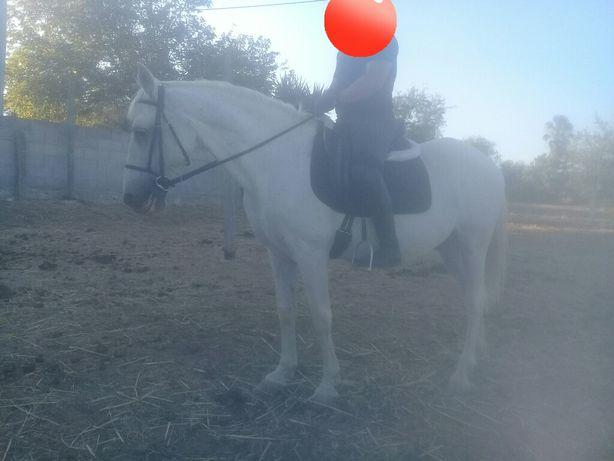 Cavalo de confiança,engatado e montado