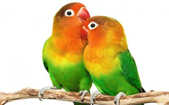 Попугай фишер неразлучник-самый красивый и популярный