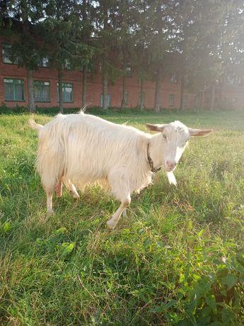 Дійна молочна коза