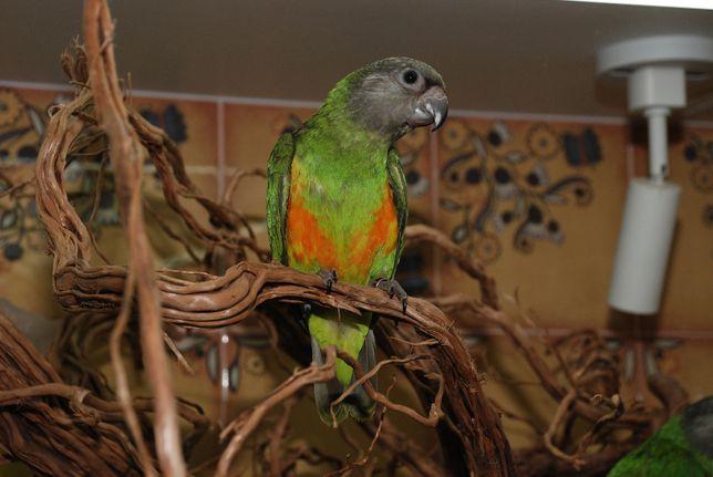 Попугай говорун - Сенегальский попугай родом с Африки