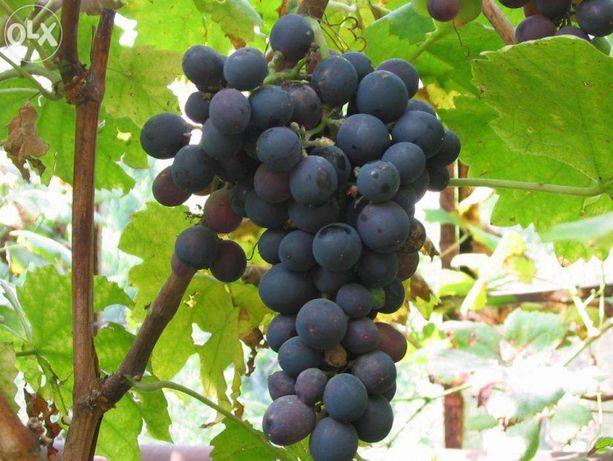 Winorośl Winogrona 20 Odmian Producent Jest Promocja Wysyłka Cały Kraj