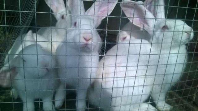 Продам кроликов породы белого панона