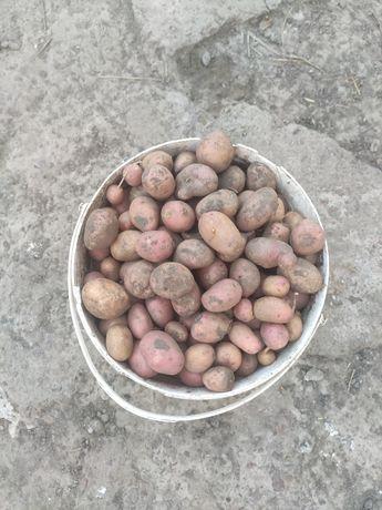 Продам дрібну картоплю 1.5грн
