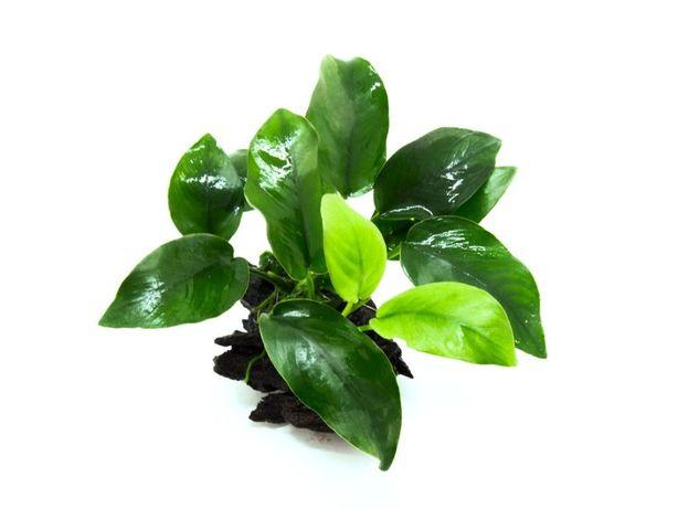 Anubia Barteri nana – Planta aquática