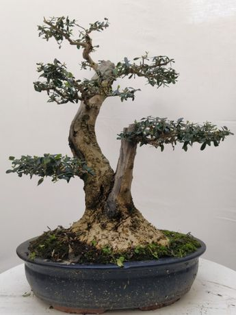 bonsai olea sylvestris