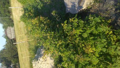 Maliny ,sadzonki maliny jesiennej z ekologicznej uprawy.