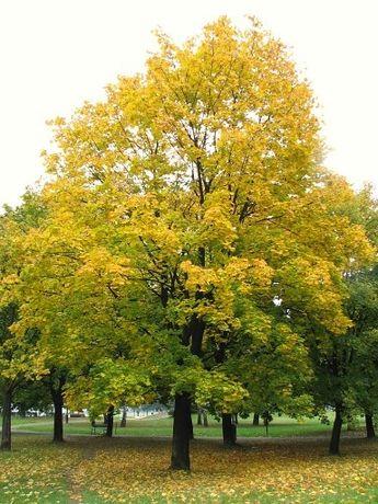 Klon zwyczajny (Acer Platanoides), obwód 8-10cm, wys. 3-4m, z gruntu