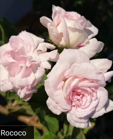 Пеларгония. Калачик геоань Розобудка. Рококо, Анита, Милфред роуз.