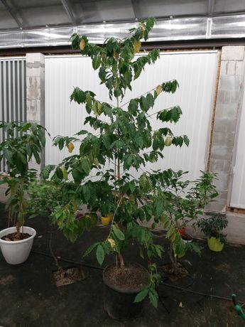 Кофейное дерево Арабика с плодами