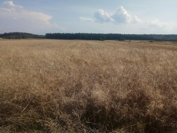 Zbóże prosto z pola