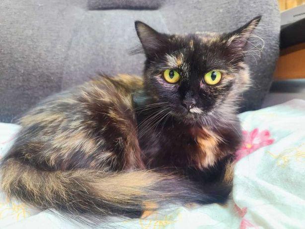 Шакира 1.5 года. Очень пушистая ласковая кошка ищет дом