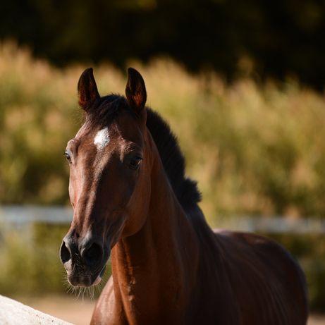 Конь мерин лошадь Орнамент конкур