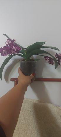 Домашняя орхидейка
