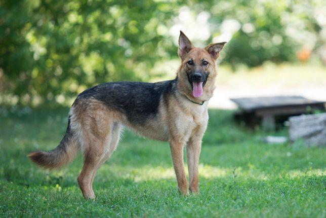 Отдам в хорошие руки молодую собаку Солю, метис немецкой овчарки.