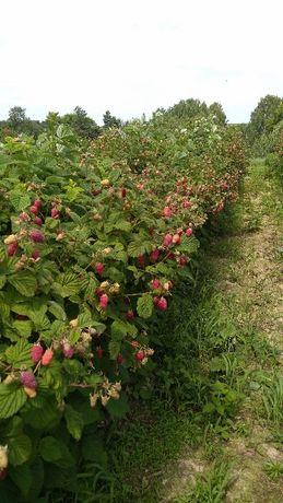 Sadzonki malin  WCZESNE,POZNNE Szybka WYSYŁKA-Duże owoce
