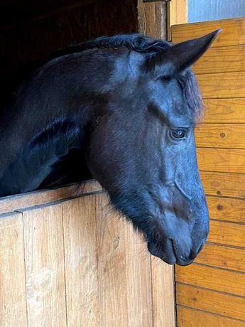 Dzierżawa konia  bez przeniesienia