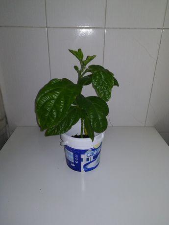 Maracujazeiro pronto para plantar