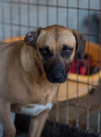 Jade- cachorra de porte médio para adoção
