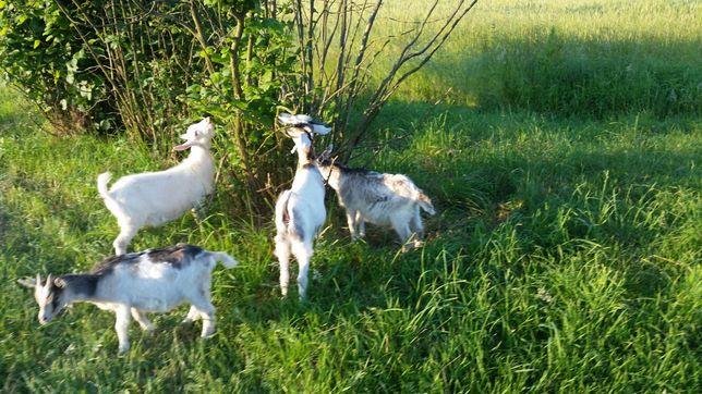 Kozy kozki wiek 6 miesięcy