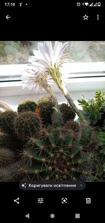 Віддам кактуси, є 2 вазони за 2 Кіндер ( барбі)